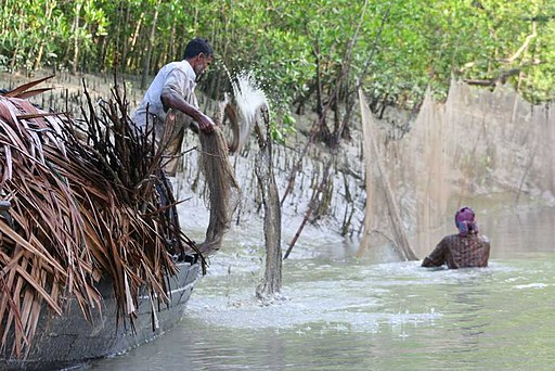 Fishermen casting nets in the Sundarbans. Photo by Frances Voon/Wikimedia Commons.