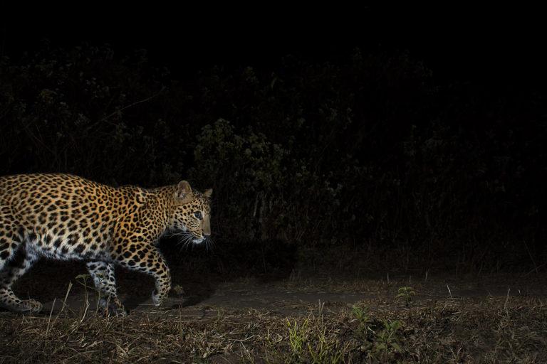 A leopard in a tea garden in north Bengal. Photo by Avijan Saha.