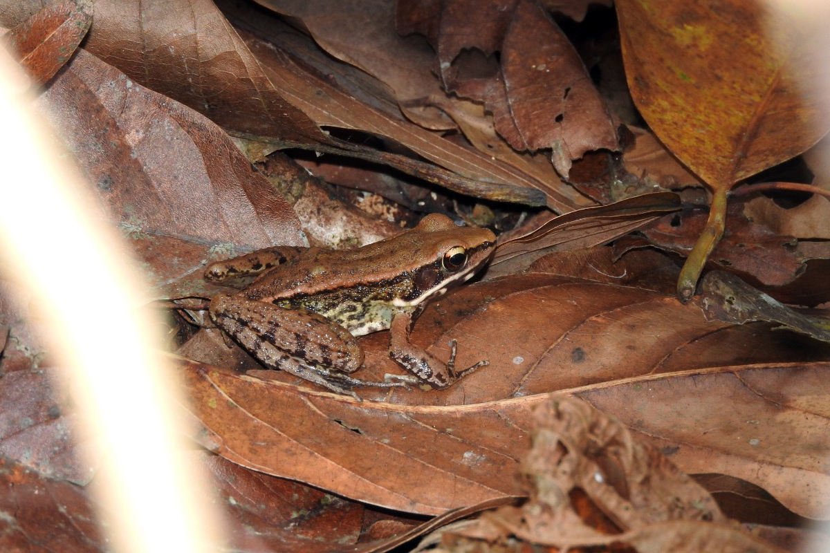 Assam forest frog. Photo by Ranjit Kakati.