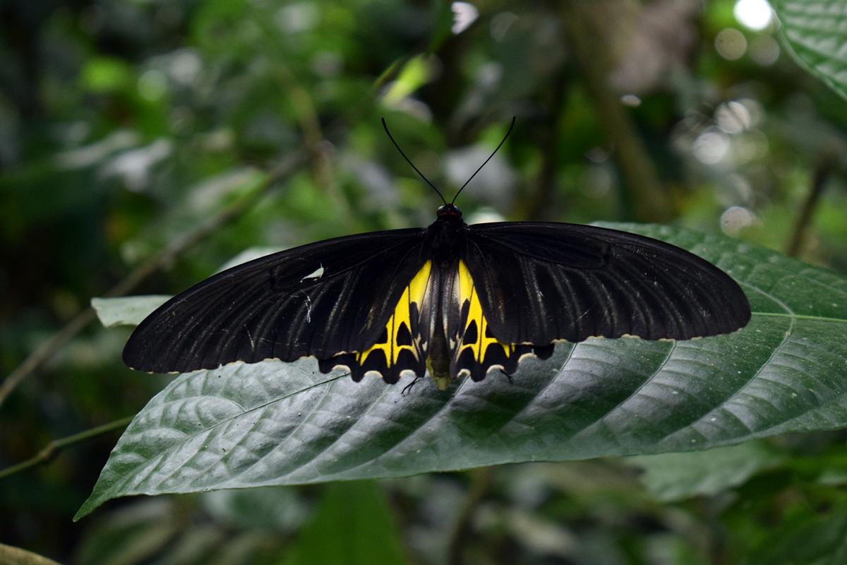 Birdwing. Photo by Dipankar Borah.
