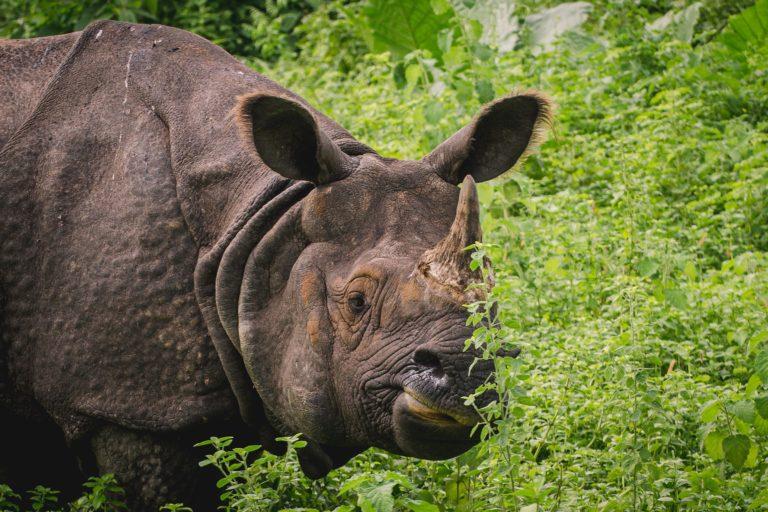 A one horned rhino at Manas national park, Assam. Photo by Gitartha.bordoloi/Wikimedia Commons.