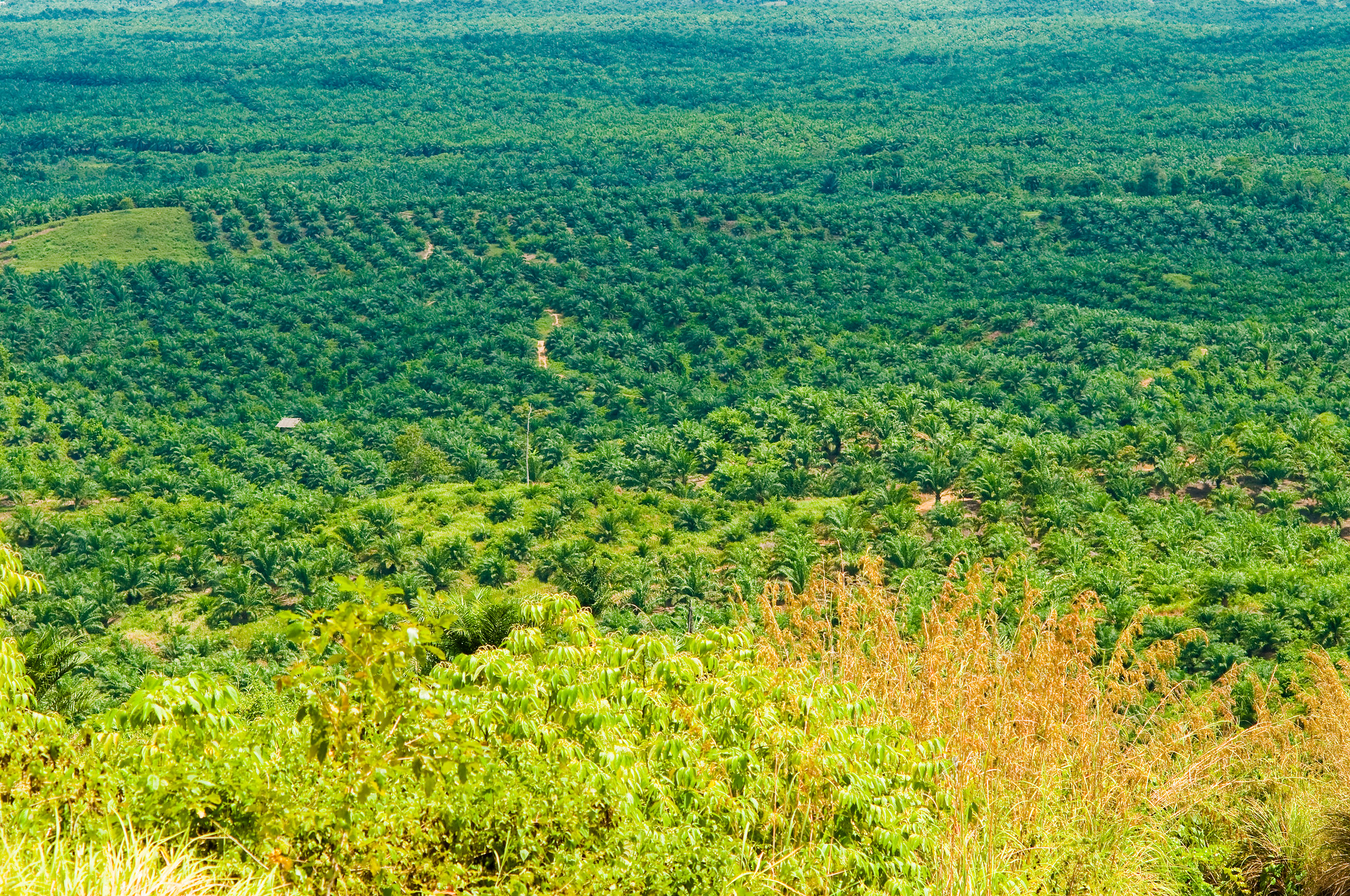 A palm oil plantation in Indonesia. India is primarily dependent on Indonesia and Malaysia for import of palm oil. Photo by Moses Ceaser (CIFOR)/Flickr.