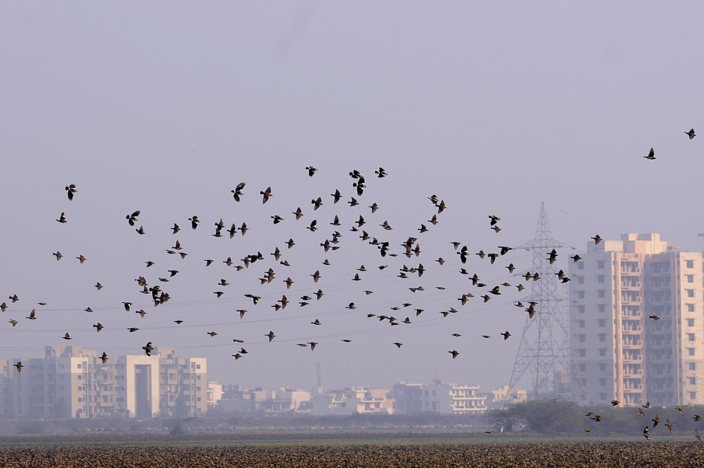 A murmuration of European starlings with some Asian pied starlings and bank mynas in the Basai wetland near Gurugram, Haryana. Photo by T. R. Shankar Raman/Wikimedia Commons.