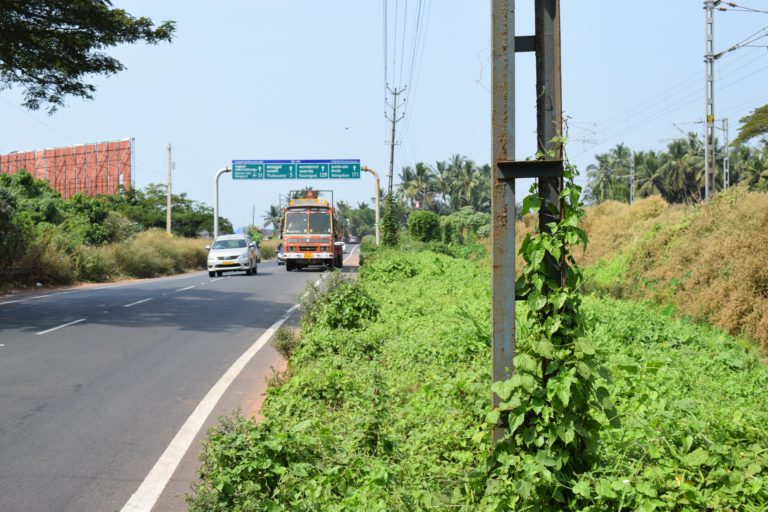An invasive alien plant species (Mikania micrantha) growing along the roads to Thalassery, Kerala. Roads often function as corridors of long-distance spread and establishment of IAPS. Photo by A. K. Banerjee