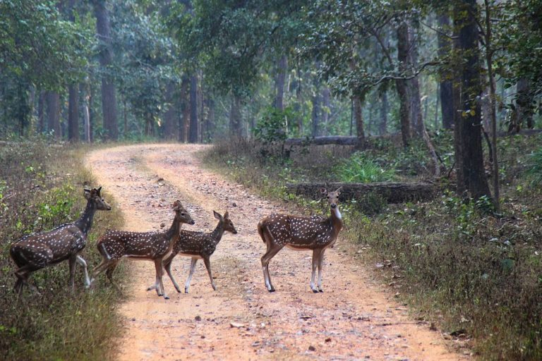 A family of Chital(deer) crossing the road in Achanakmar Tiger Reserve. Photo by Aditya Kar/Wikimedia commons