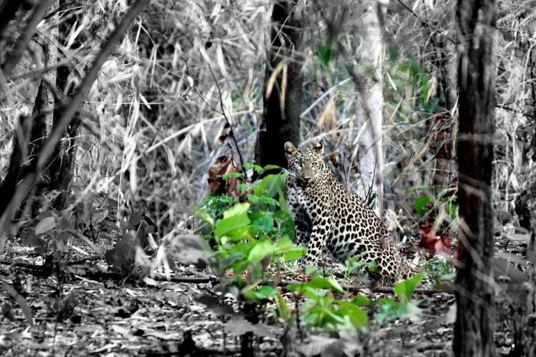A leopard in Achanakmar Tiger reserve. There have been reports of Maoist movement in the area of Achanakmar Tiger Reserve from time to time for the last 20 years. Photo by Harsh.can/Wikimedia commons