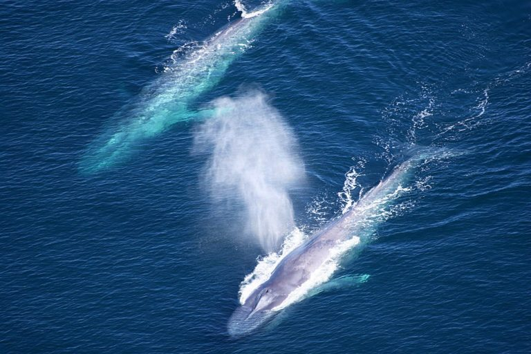 Two blue whales swimming side by side at the Channel Islands National Marine Sanctuary off the Pacific coast of Southern California. Photo from NOAA.