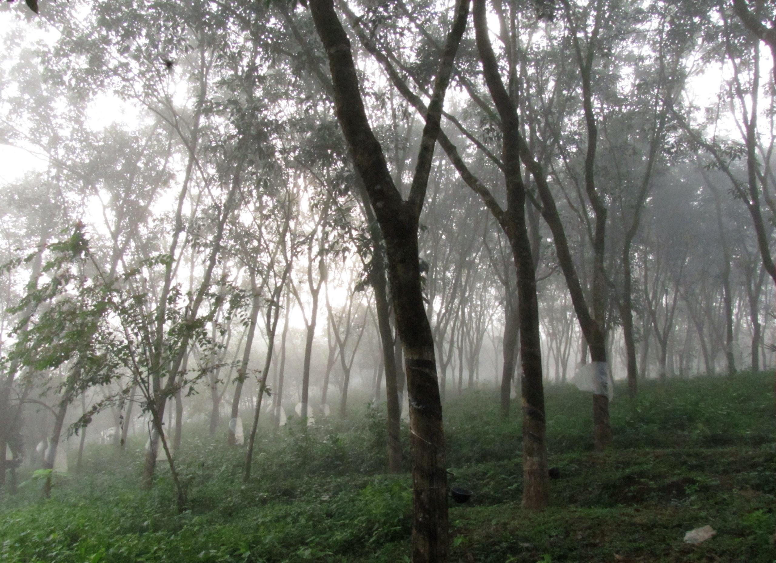 Rubber Plantation in Kerala.