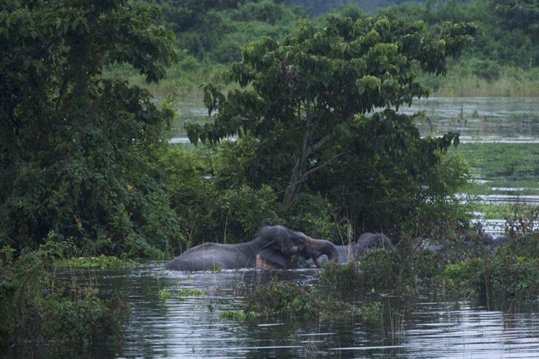 Elephant navigating the Kaziranga floods. Photo by Pragyan Sharma/Conservation Initiatives.