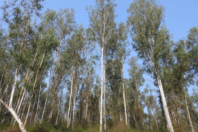 A plantation of Eucalyptus sp. in a protected area in Kerala, India. Photo by Anand Osuri/Wikimedia Commons.