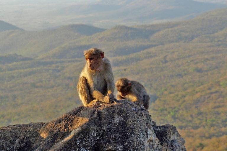 Bonnet macaque at Biligiri Rangaswamy Temple Sanctuary, Karnataka, India. Photo by Ullasa Kodandaramaiah/Wikimedia Commons.