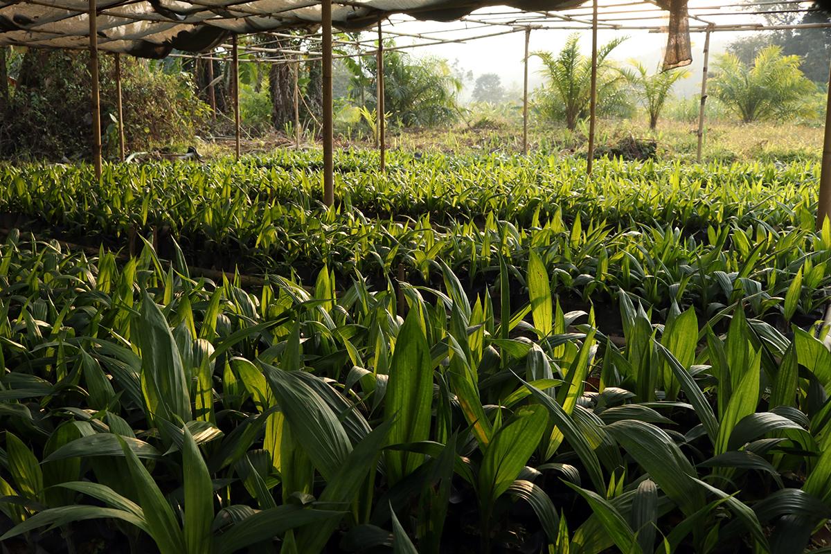 Oil palm saplings in a nursery in Darlak, Mamit District, Mizoram. Photo by Gaurab Talukdar.