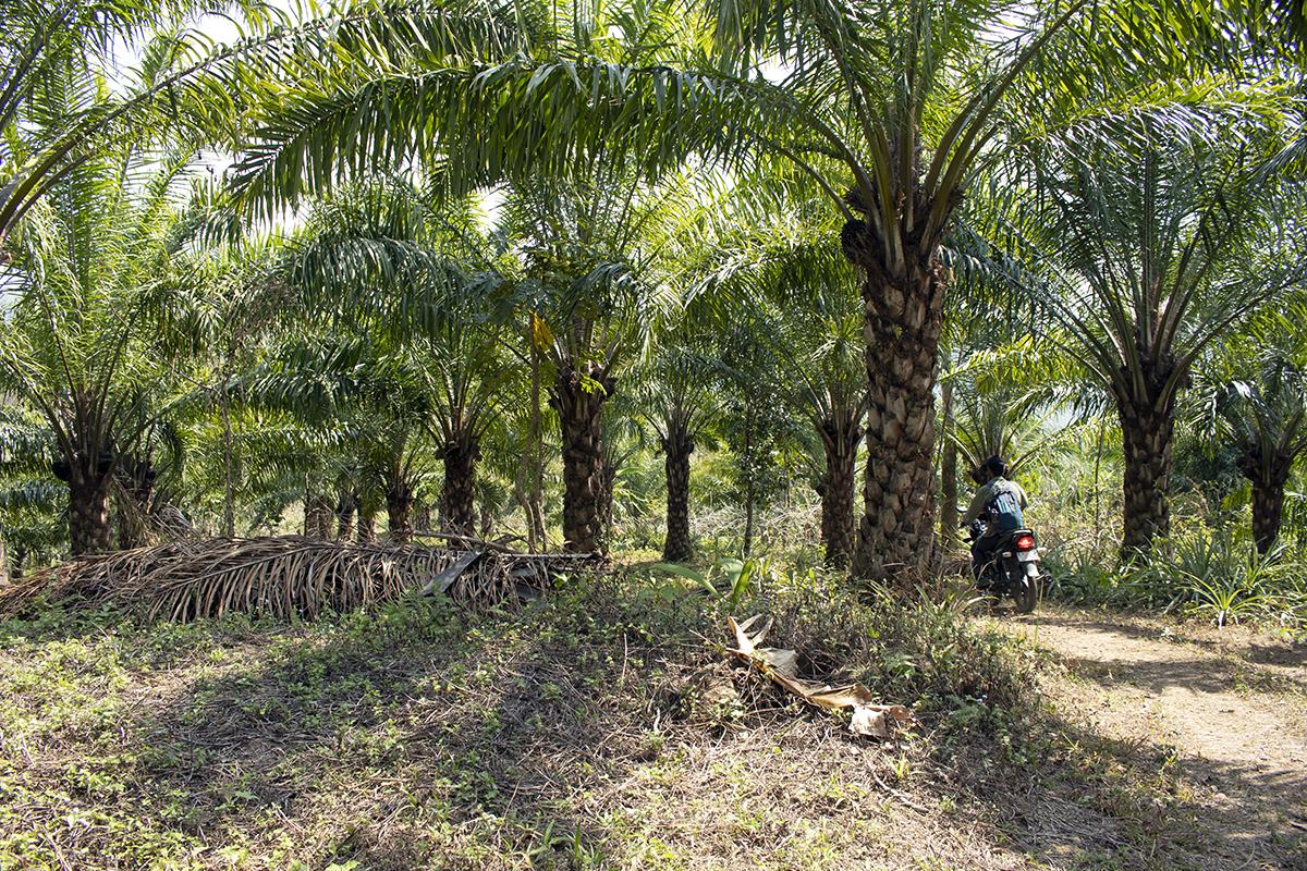 A palm oil plantation in Saithah, Mamit District in Mizoram. Photo by Lalvohbika.