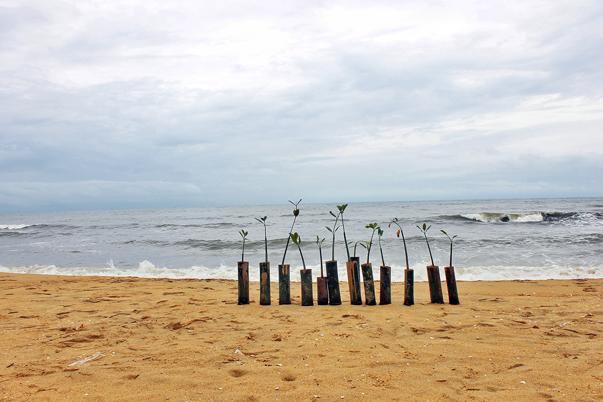 Mangrove saplings lined up before they are planted along the coast at Kanhangad in Kasargod district by the Kallen Pokkudan Mangrove Trust. Photo by J U Bhavapriya.