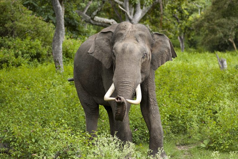 Indian elephant bull in musth in Bandipur National Park. Image by Yathin S Krishnappa/Wikimedia Commons