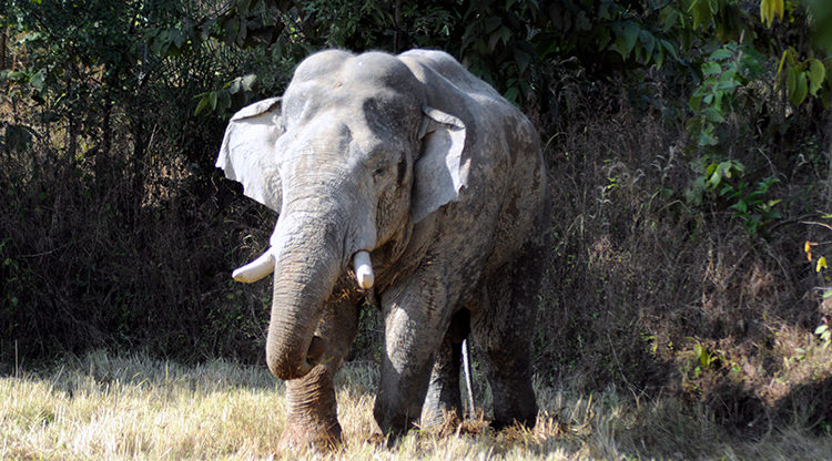 In the last elephant census conducted in May 2017, 398 elephants were found in the state.. It is estimated that the population of the elephants would have crossed 500 by now. Image by Alok Prakash Putul