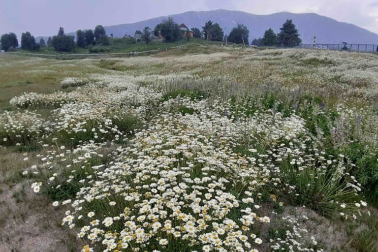 Ox-eye daisy in the Kashmir Himalayas in India. Photo by Anzar A. Khuroo