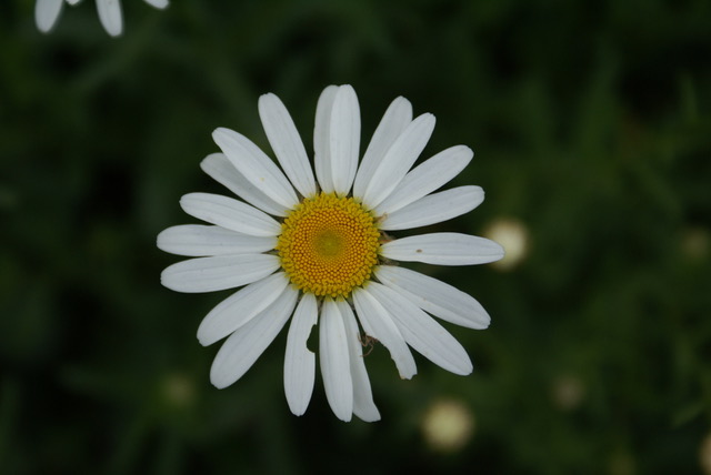 The common name, ox-eye daisy refers to the flower's large and flattened central disk, which resembles the eye of an ox. Photo by Anzar A. Khuroo