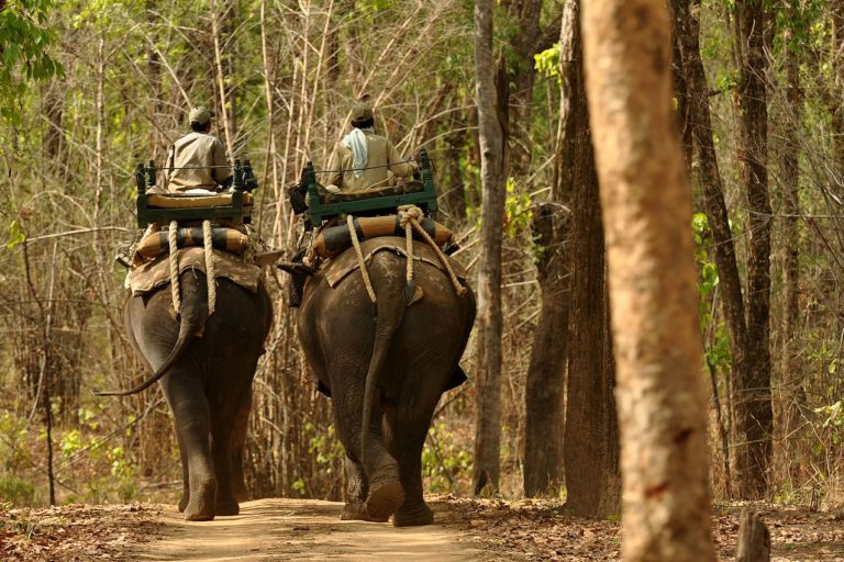 Camp elephants carrying forest staff in tourism zone of Kanha Tiger Reserve. Photo by T. R. Shankar Raman/Wikimedia commons