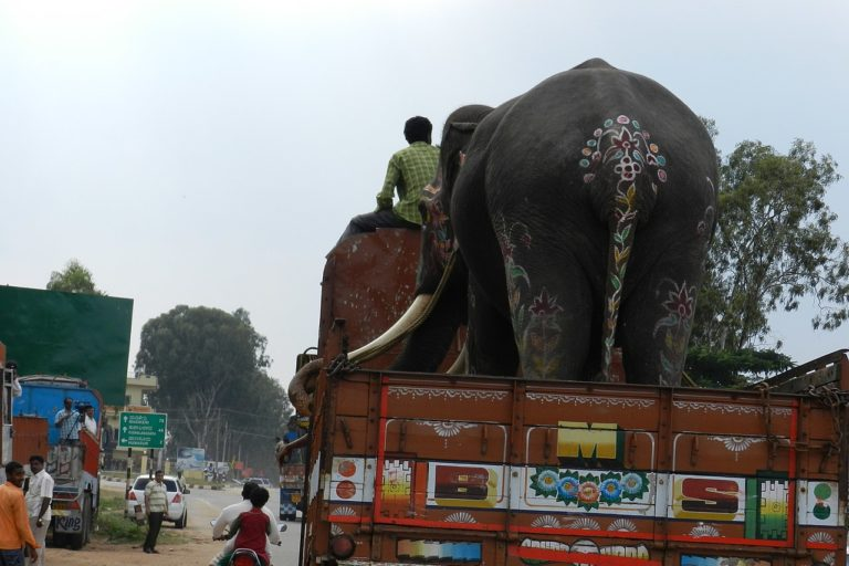 A captive Asian elephant being transported back to a forest camp after the Dussera festival in Mysore, Karnataka. Photo by Anand Osuri/Wikimedia commons