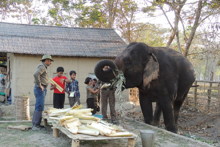 Captive elephants in Assam are largely fed with banana leaves and stem. Assam Has Maximum Captive Elephants in India. Photo by A. J. T. Johnsingh, WWF-India and NCF/Wikimedia commons