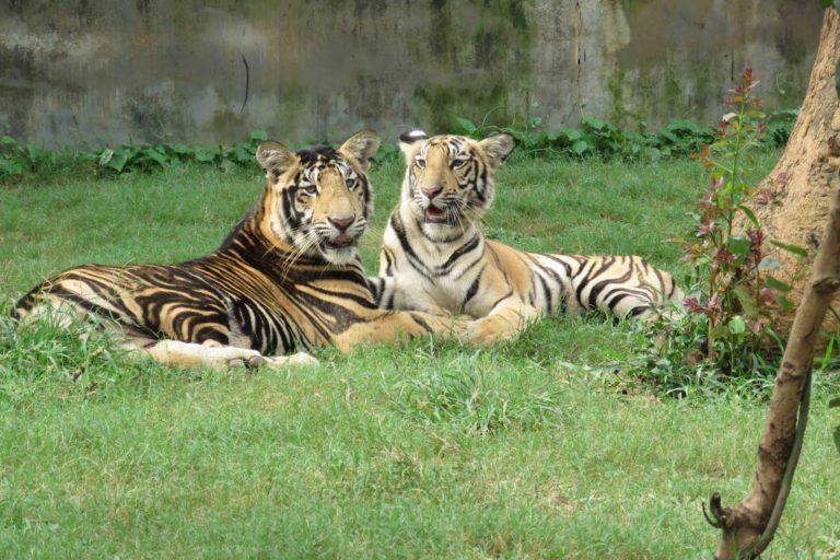 A captive pseudomelanistic tiger and its normal sibling at Nandankanan Biological Park, Bhubaneswar, India. Photo by Rajesh Kumar Mohapatra/Nandankanan Biological Park.