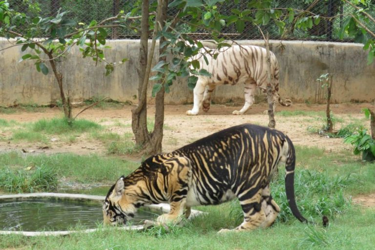 Psedomelanistic tigers develop broader than average black stripes that look like they have spread or leaked onto the surrounding tawny background. All the black tigers of Similipal carry a single mutation in the gene Transmembrane Aminopeptidase Q (Taqpep) which seems to be the cause of this odd patterning. Photo by Rajesh Kumar Mohapatra/Nandankanan Biological Park.