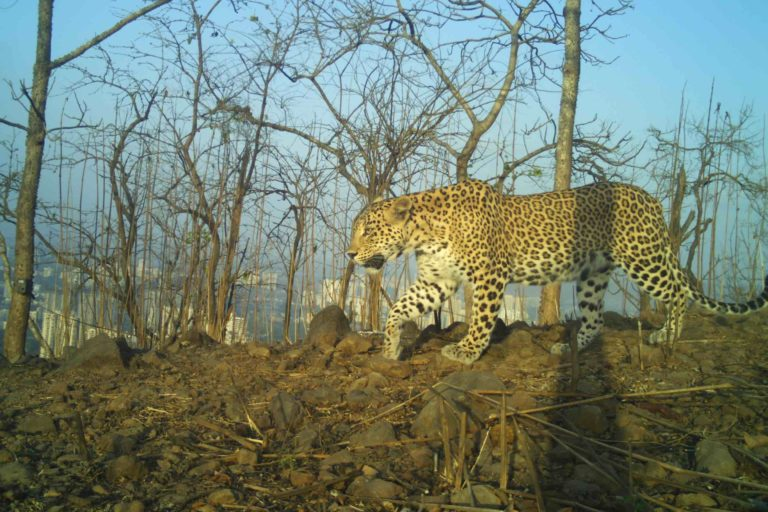 Leopards and people share space in many parts of Maharashtra. Photo by Nikit Surve/WCS India.