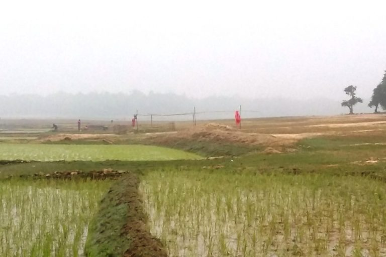 Paddy cultivation in Son Beel is viewed as an encroachment. Photo by Saanku Das.