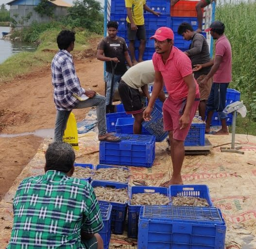Fishermen load farmed shrimps.