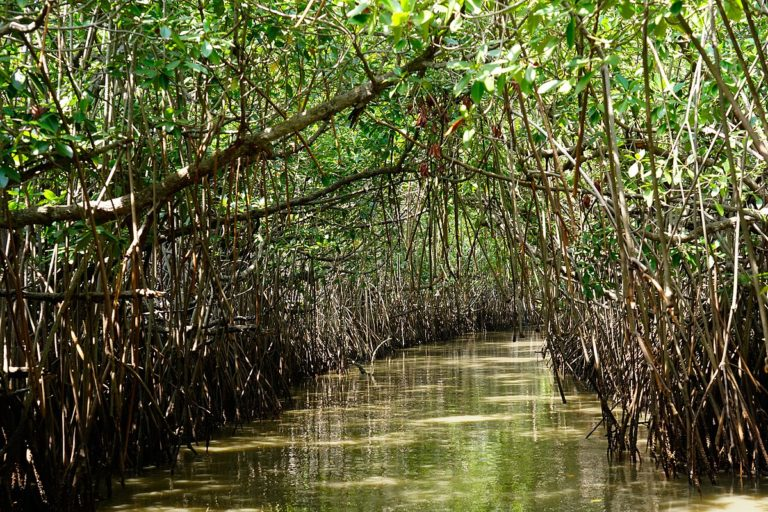 Pichavaram mangrove, Tamil Nadu. Researchers explored seven mangrove sites to look at how mangrove productivity or carbon assimilation had changed over 21 years and if tropical cyclone frequency or intensity played a role in this trend. Photo by Satdeep Gill/Wikimedia Commons.