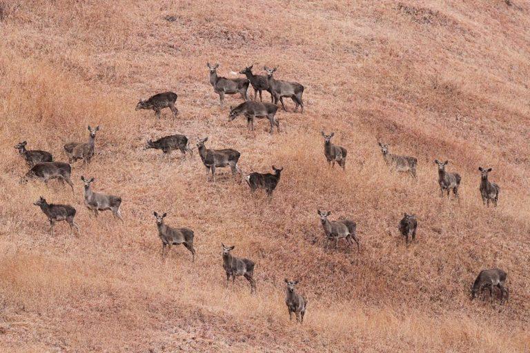 A herd of hangul. Photo by Tahirshawl/ Wikimedia Commons