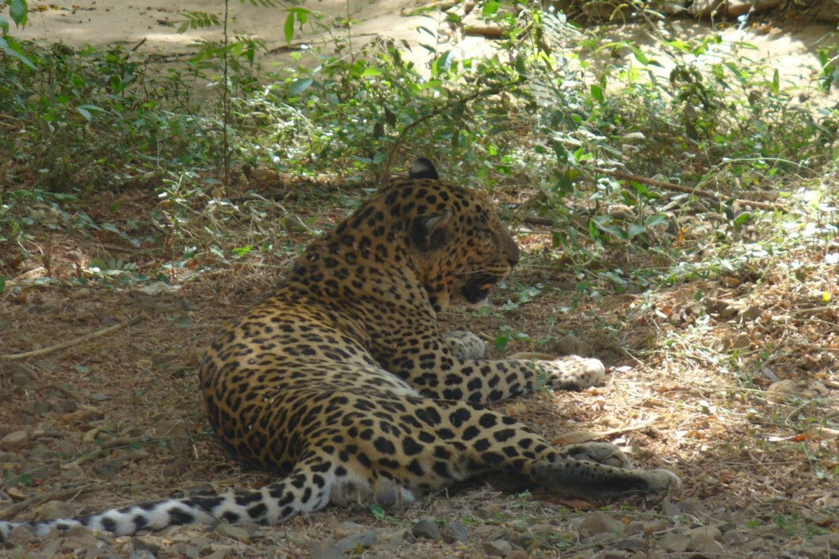संजय गांधी नेशनल पार्क से आया तेंदुआ आईआईटी बांबे कैंपस में लॉकडाउन के दौरान देखा गया। फोटो- महेश शिंदे विकिमीडिया कॉमन्स