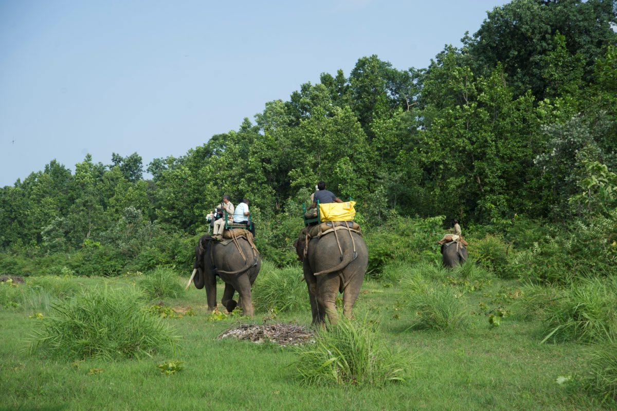बांधवगढ़ के जंगल में पालतू हाथियों की मदद से जंगली हाथियों की खोज करते वनकर्मी। फोटो सत्येंद्र कुमार तिवारी