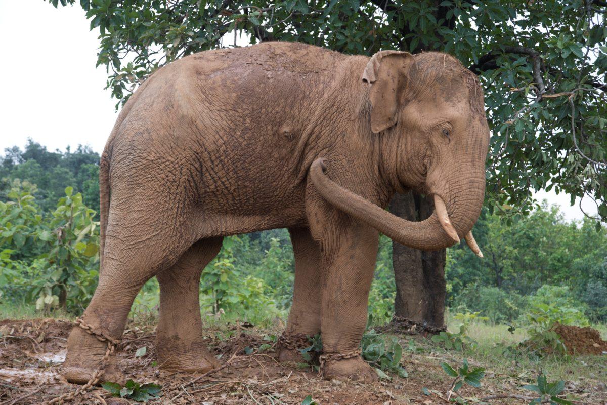 इस तस्वीर में हाथी के शरीर पर बने घाव के निशान साफ दिख रहे हैं दो उन्हें इंसानी टकराव में मिले हैं। हाथी को कुछ वर्ष पहले वन विभाग ने पालतू बनाने के लिए पकड़ा था।