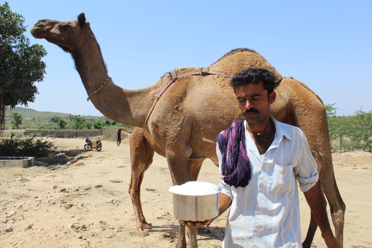 गुजरात के कच्छ क्षेत्र में ऊंटनी का ताजा दूध निकालता पालक फोटो- सहजीवन