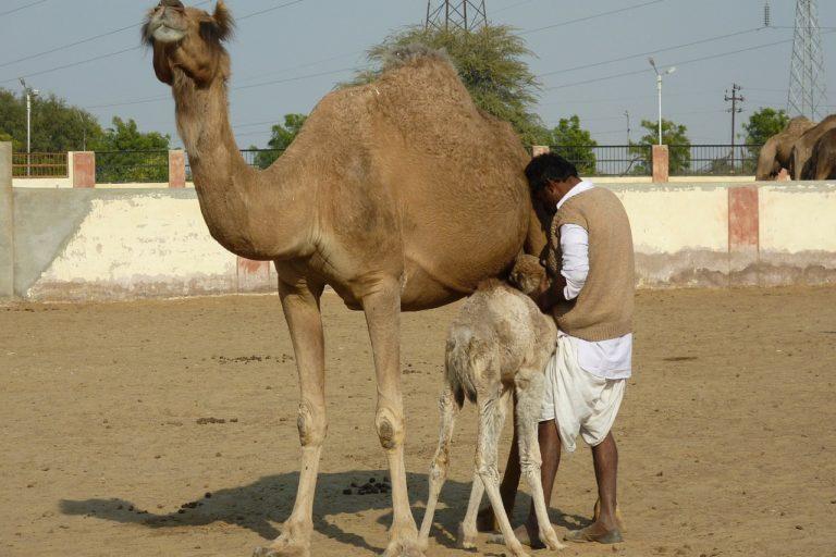 राजस्थान के बीकानेर में ऊंट पालने का स्थान फोटो- नीडपिक्स
