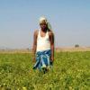 पिथारा गांव के किसान उमेश कुमार अपने हरे-भरे खेत में खड़े होकर फसलों को दिखा रहे हैं। फोटो- सोशल एक्शन फॉर रूरल डेवलपमेंट (एसएआरडीए)