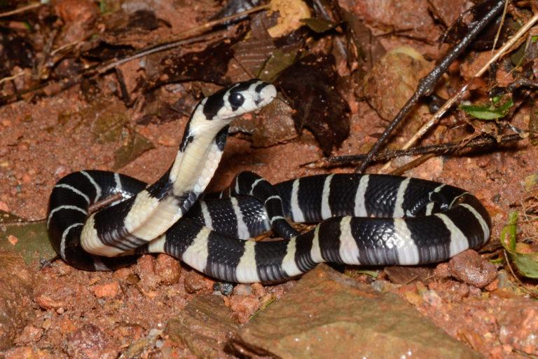 सर्पकावू में किंग कोबरा की इस तरह से पूजा की जाती है। फोटो- विवेक शर्मा
