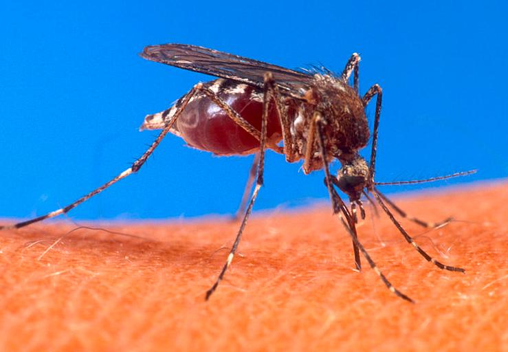डेंगू का संक्रमण मादा एडीज मच्छर के काटने से होता है।