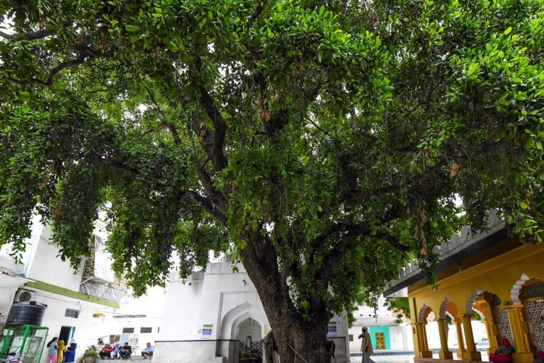 चिराग दिल्ली दरगाह स्थित खिरनी के इस पेड़ को 600 साल पुराना बताया जाता है। इसे 14वीं सदी में सूफी संत हजरत मखदूम ने लगाया था। फोटो- सैयद मोहम्मद कासिम