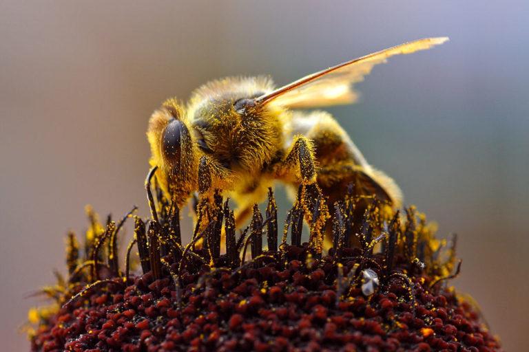 मधुमक्खी की नजदीक से ली गई तस्वीर। फोटो- जॉन सुलिवन विकिमीडिया कॉमन्स