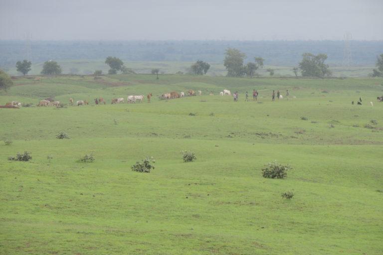 मध्यप्रदेश के धार जिले में घास का मैदान। इस इलाके के ऐसे मैदानों में खरमोर रहते हैं। फोटो- दिलशेर खान