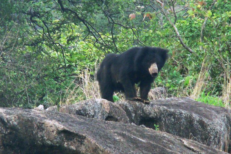 भारत में इन भालुओं की गणना 2006 में हुई थी जिसमें अनुमान लगाया गया था कि देश में इनकी कुल संख्या 6000 से 11,000 के बीच है। फोटो- प्रकाश मरदराज