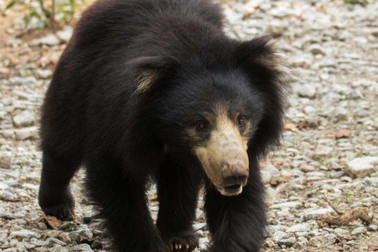 भालू शांत स्वभाव के होते हैं लेकिन अपने बचाव में हमलावर हो जाते हैं। फोटो- वाइल्डलाइफ एसओएस