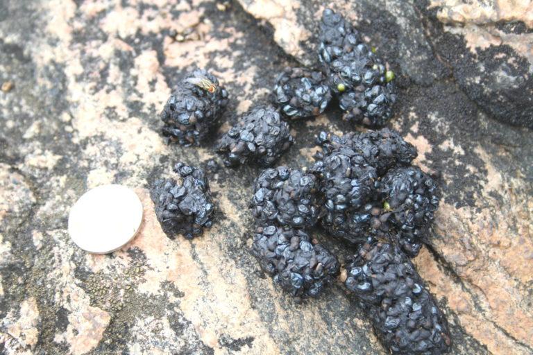 ये लैंटाना की बेरी है। नई जानकारी के मुताबिक मध्यप्रदेश के जंगलों में ये भालुओं को पसंद आ रही है। फोटो- आथिरा पेरिंचेरी