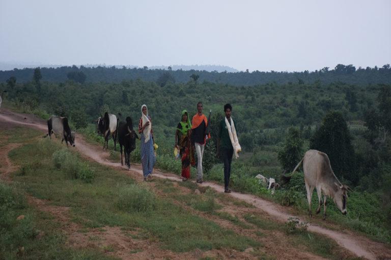 पन्ना टाइगर रिजर्व के इलाके में जंगल से मवेशी चराकर आते आदिवासी। मध्यप्रदेश के जंगल आदिवासियों की जीवनरेखा है। फोटो- मनीष चंद्र मिश्र/मोंगाबे हिन्दी