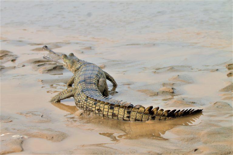 पंजाब स्थित ब्यास नदी में जलक्रीडा करता घड़ियाल। इस नदी में 47 घड़ियाल छोड़ जा चुके हैं। फोटो- वन और वन्यजीव संरक्षण विभाग, पंजाब