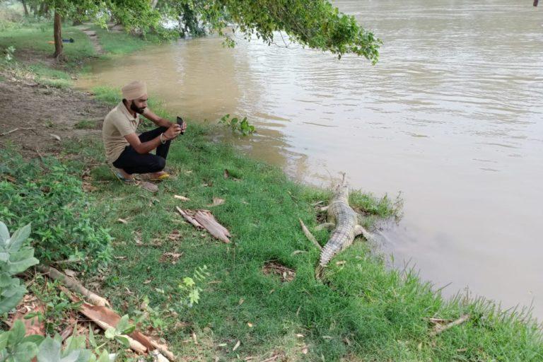 ब्यास नदी के किनारे बसने वाले ग्रामीण घड़ियाल संरक्षण की कोशिशों में सहयोग करते हैं। फोटो- ब्यास नदी किनारे रेत पर आराम फरमाते घड़ियाल। फोटो- वन और वन्यजीव संरक्षण विभाग, पंजाब