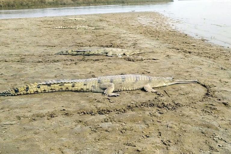 ब्यास नदी किनारे रेत पर आराम फरमाते घड़ियाल। फोटो- वन और वन्यजीव संरक्षण विभाग, पंजाब